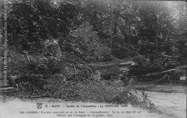 DIJON (Côte-d'Or) - Jardin de l'Arquebuse - Peuplier noir de 40 m de haut et de 12 m de circonférence, détruit par l'orage du 15 juillet 1917
